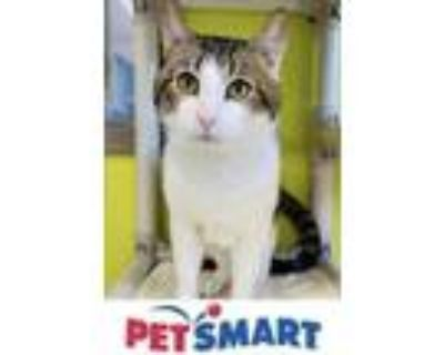 Adopt Tulio a White Domestic Shorthair / Domestic Shorthair / Mixed cat in