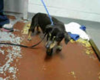 Adopt LOOM a Brown/Chocolate - with White Dachshund / Mixed dog in Atlanta