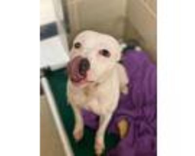 Adopt Crunchwrap a White American Pit Bull Terrier / Mixed dog in Newport News