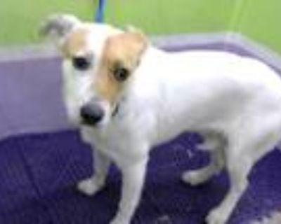 Adopt DALILA a White - with Tan, Yellow or Fawn Labrador Retriever / Mixed dog