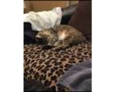 Adopt Mousy a Brown Tabby American Shorthair / Mixed cat in Winter Park