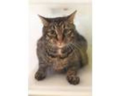 Adopt Andy [featured!] a Domestic Short Hair