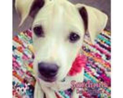 Adopt Sardinia a Tan/Yellow/Fawn Retriever (Unknown Type) / Mixed dog in KANSAS
