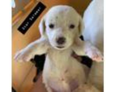 Adopt Star Swimmer a White - with Tan, Yellow or Fawn Labrador Retriever /