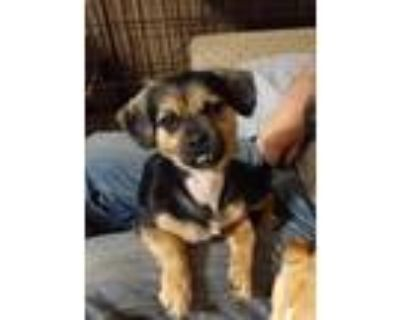 Adopt Chi mix Stripe (Ferb) a Black - with Tan, Yellow or Fawn Japanese Chin /