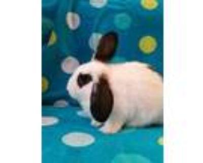 Adopt WILLOW a White Blanc de Hotot / Mixed rabbit in Albuquerque, NM (31923950)