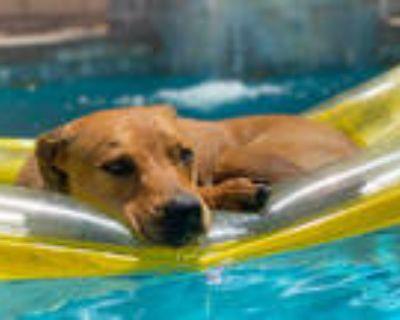 Adopt SALLY a Tan/Yellow/Fawn - with White Labrador Retriever / Rhodesian