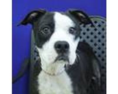 Adopt Lucy a Pit Bull Terrier / Border Collie / Mixed dog in Midland