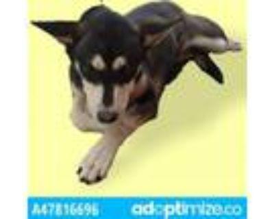 Adopt 47944093 a Australian Cattle Dog / Blue Heeler, Mixed Breed