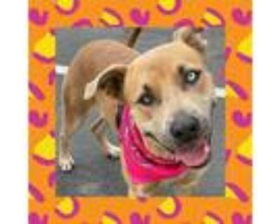 Adopt Ashley a Husky, Staffordshire Bull Terrier