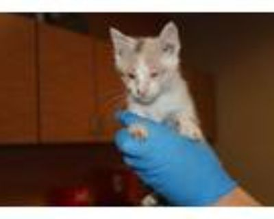 Adopt BLANCHE a White (Mostly) Domestic Shorthair / Mixed (short coat) cat in