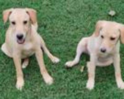 Adopt Lucy & Suzy a Tan/Yellow/Fawn Beagle / Labrador Retriever / Mixed dog in