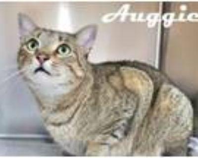 Adopt Auggie a Domestic Short Hair