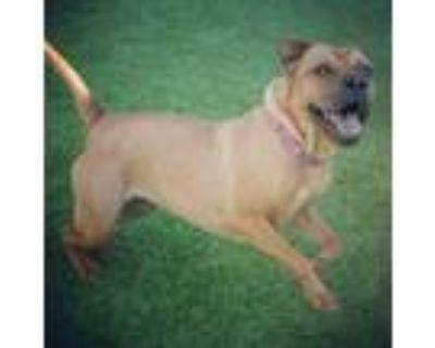 Adopt Awesome Zena - Super Fun, Loving Girl a Shar-Pei, Pug