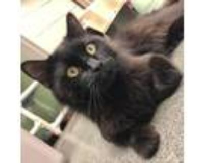 Adopt Salem a All Black Domestic Longhair / Domestic Shorthair / Mixed cat in