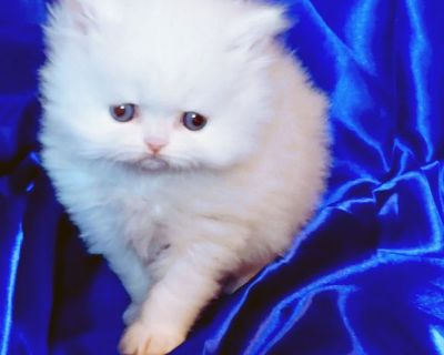 Blue Eye White and Himalayan Doll Face Persian Kittens