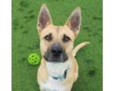 Adopt Grindelwald a Tan/Yellow/Fawn Shepherd (Unknown Type) / Mixed Breed