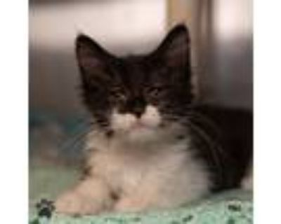 Adopt Double Stuff (with Rocky) a Domestic Shorthair / Mixed cat in Richmond