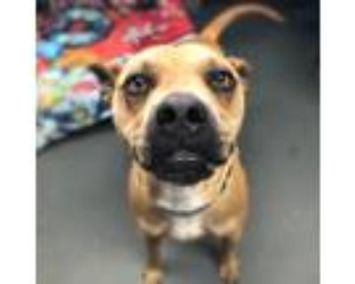 Adopt Butters a Tan/Yellow/Fawn Pit Bull Terrier / Mixed dog in Shawnee