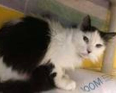 Adopt Venus a White Domestic Longhair / Domestic Shorthair / Mixed cat in
