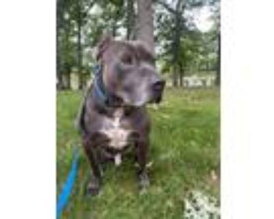 Adopt Towbar a Gray/Blue/Silver/Salt & Pepper American Pit Bull Terrier / Mixed