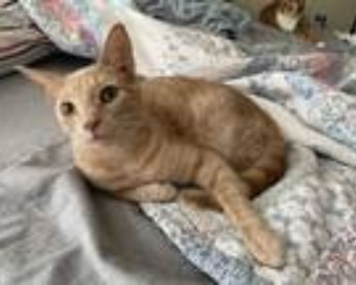 Adopt Bud a Tan or Fawn Tabby Domestic Shorthair (short coat) cat in White