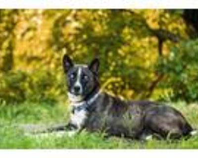 Adopt MYSTIQUE a Brown/Chocolate - with White Husky / Mixed dog in Cranston
