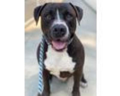 Adopt Gino a American Pit Bull Terrier / Mixed dog in Chico, CA (30977222)