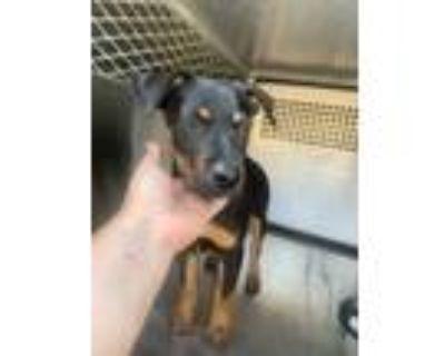 Adopt Star a Black Miniature Pinscher / Mixed dog in Philadelphia, PA (31893481)