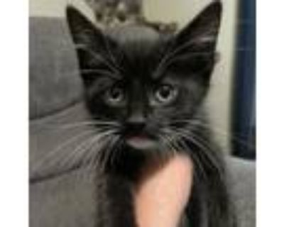 Adopt Blueberry Pie a Domestic Short Hair