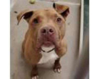 Adopt Hugo a Pit Bull Terrier