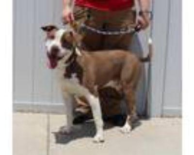 Adopt CHOPSTICKS a White - with Brown or Chocolate Labrador Retriever / Brittany