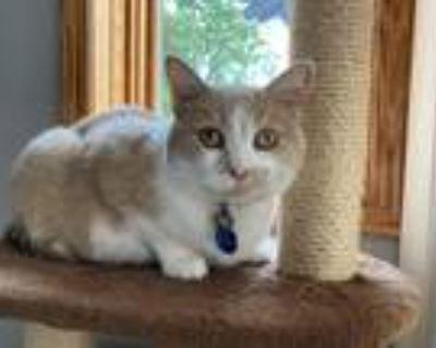Adopt Carmela a Tan or Fawn Polydactyl/Hemingway / Mixed (medium coat) cat in