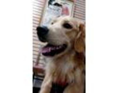 Adopt Layla a Golden Retriever