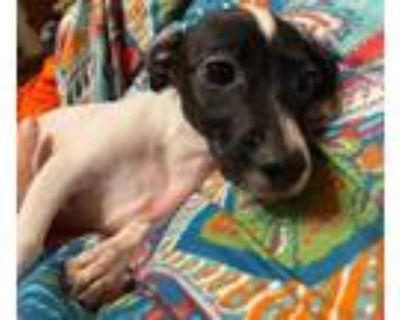 Adopt Crosby a Terrier, Dachshund