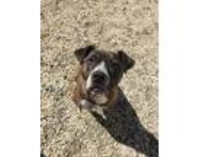 Adopt Pepper a American Pit Bull Terrier / Mixed dog in Birdsboro, PA (31157928)