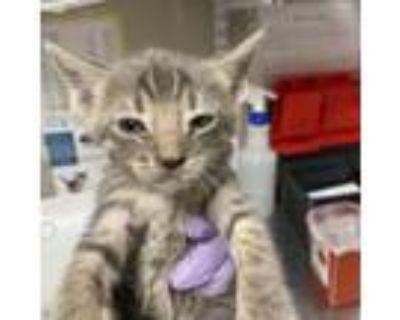 Adopt Aramis a Gray or Blue Domestic Shorthair cat in Yuma, AZ (31256277)