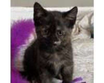 Adopt Millie a Tortoiseshell Domestic Shorthair / Mixed cat in Waldorf
