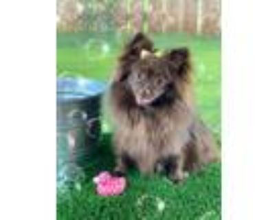 Adopt Winnie (Bonded with BearyBear) a Brown/Chocolate Pomeranian / Mixed dog in