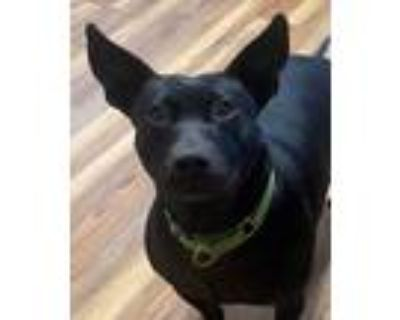Adopt Squirrel a Black Terrier (Unknown Type, Medium) / Mixed dog in Big Canoe