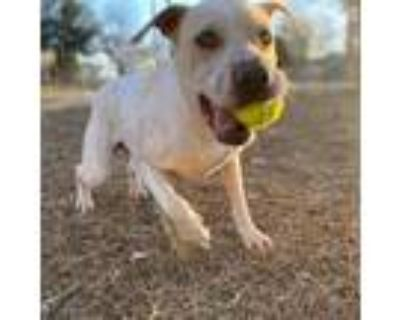 Adopt Lacie CM a White - with Tan, Yellow or Fawn Shar Pei / Mixed Breed