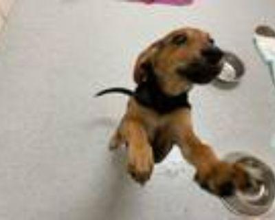Adopt Croissant a Black Beagle / Mixed dog in Chesapeake, VA (31692587)