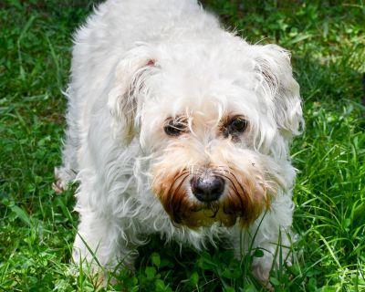 Kelly 11069 - Poodle/Schnauzer - Adult Female
