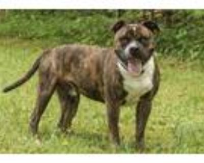 Adopt Stump a Brindle American Pit Bull Terrier / Mixed dog in Cashiers