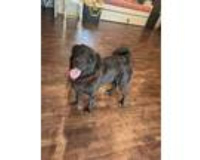 Phoebe, Retriever (unknown Type) For Adoption In Fort Worth, Texas