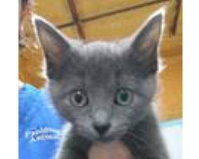 Adopt 21-06-1484a Lillie a Domestic Shorthair / Mixed (short coat) cat in