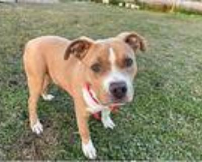Floyd (crowley), Pit Bull Terrier For Adoption In Rayne, Louisiana