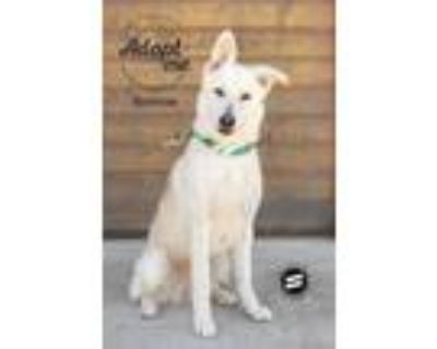Adopt Bonnie a White - with Brown or Chocolate Husky / German Shepherd Dog /