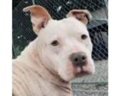 Adopt Queen a American Staffordshire Terrier