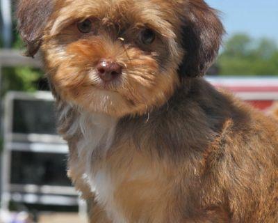 Yorki Poo Puppy for Sale - Tri-color!